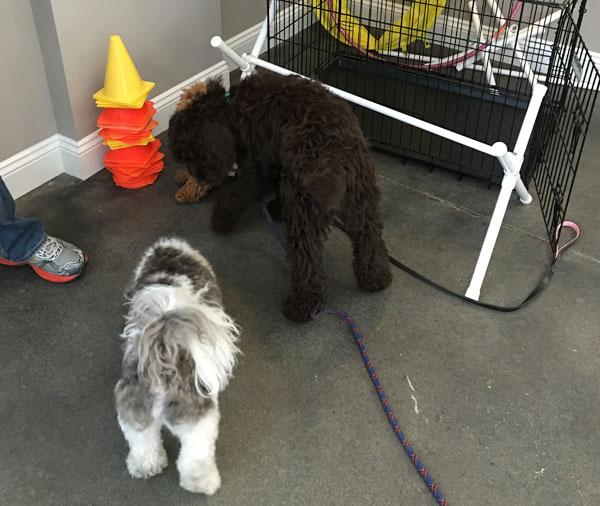 puppies-socialization